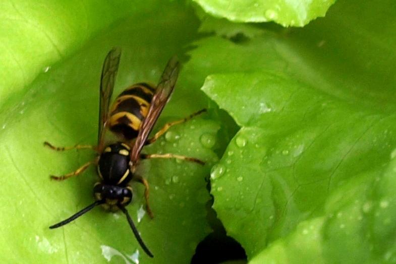 Biene Wasserholerin