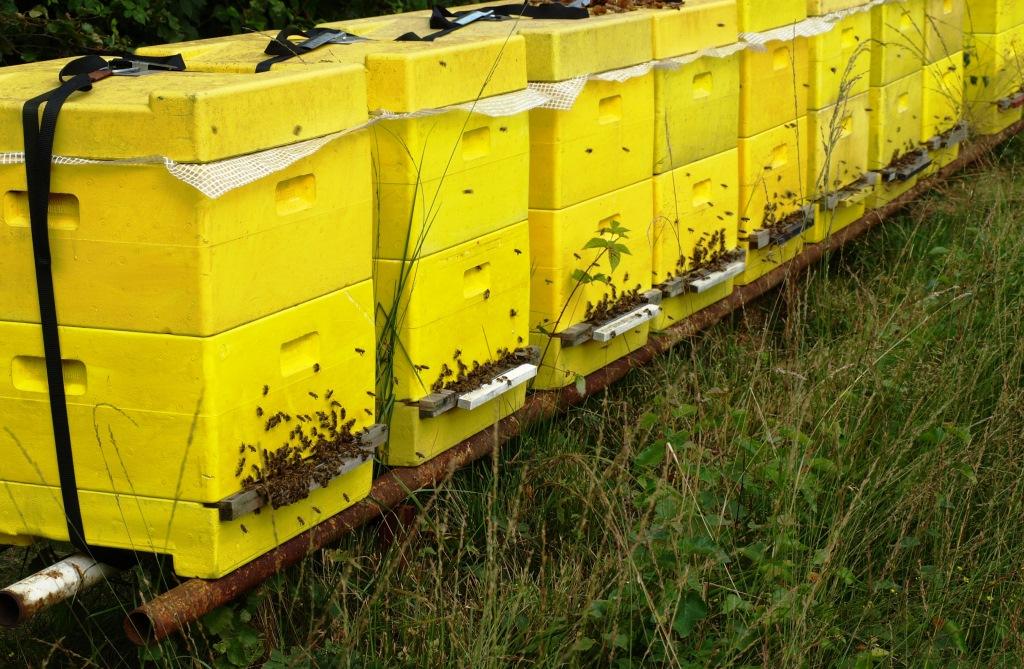 Bienen im Moor