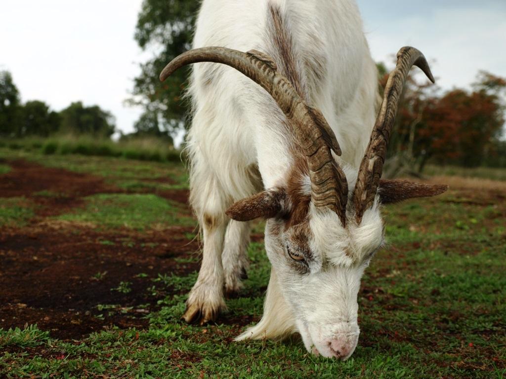 Ziege frisst im Moor