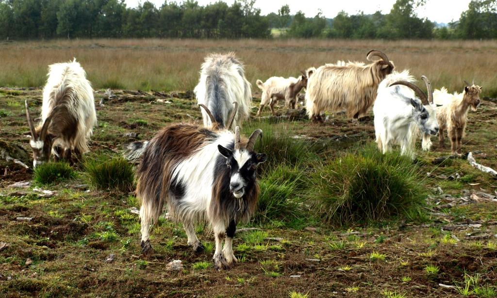 Ziegen im Moor