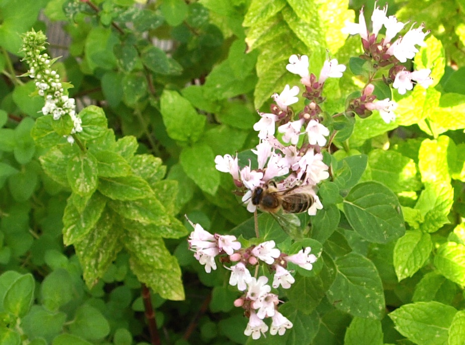Biene aus Bremen