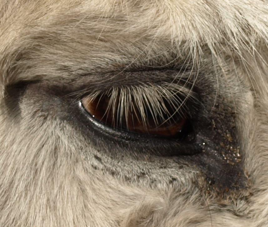 Das Auge eines Esels