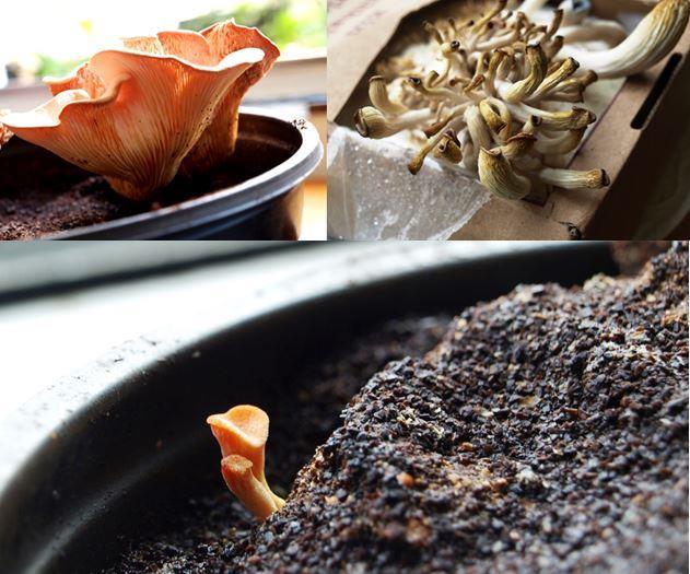 Im Blumentopf gezüchtete Pilze