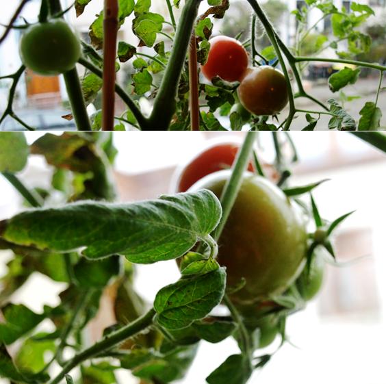 Tomaten auf der Fensterbank