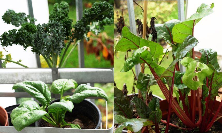 Grünkohl, Spinat und Mangold auf dem Balkon