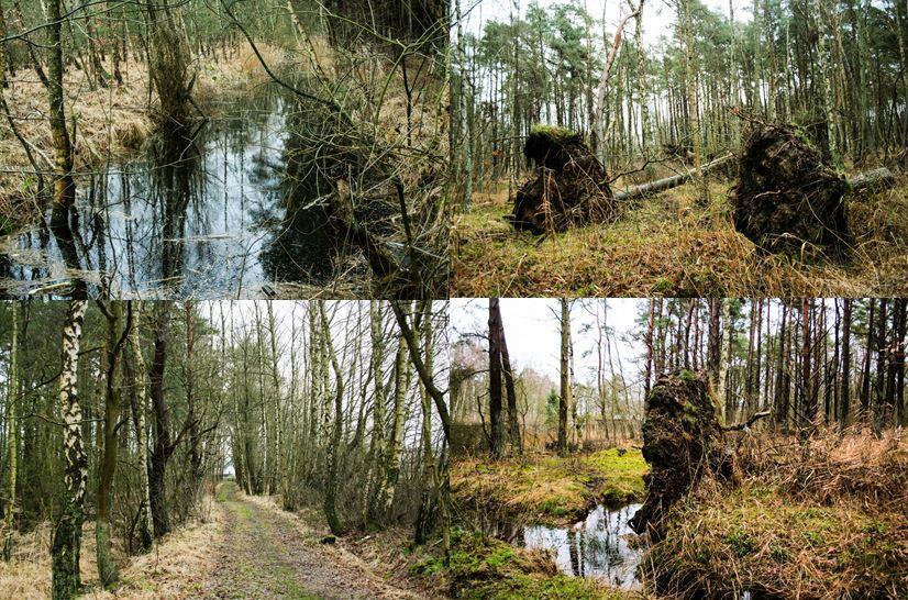 Zingst_Wald