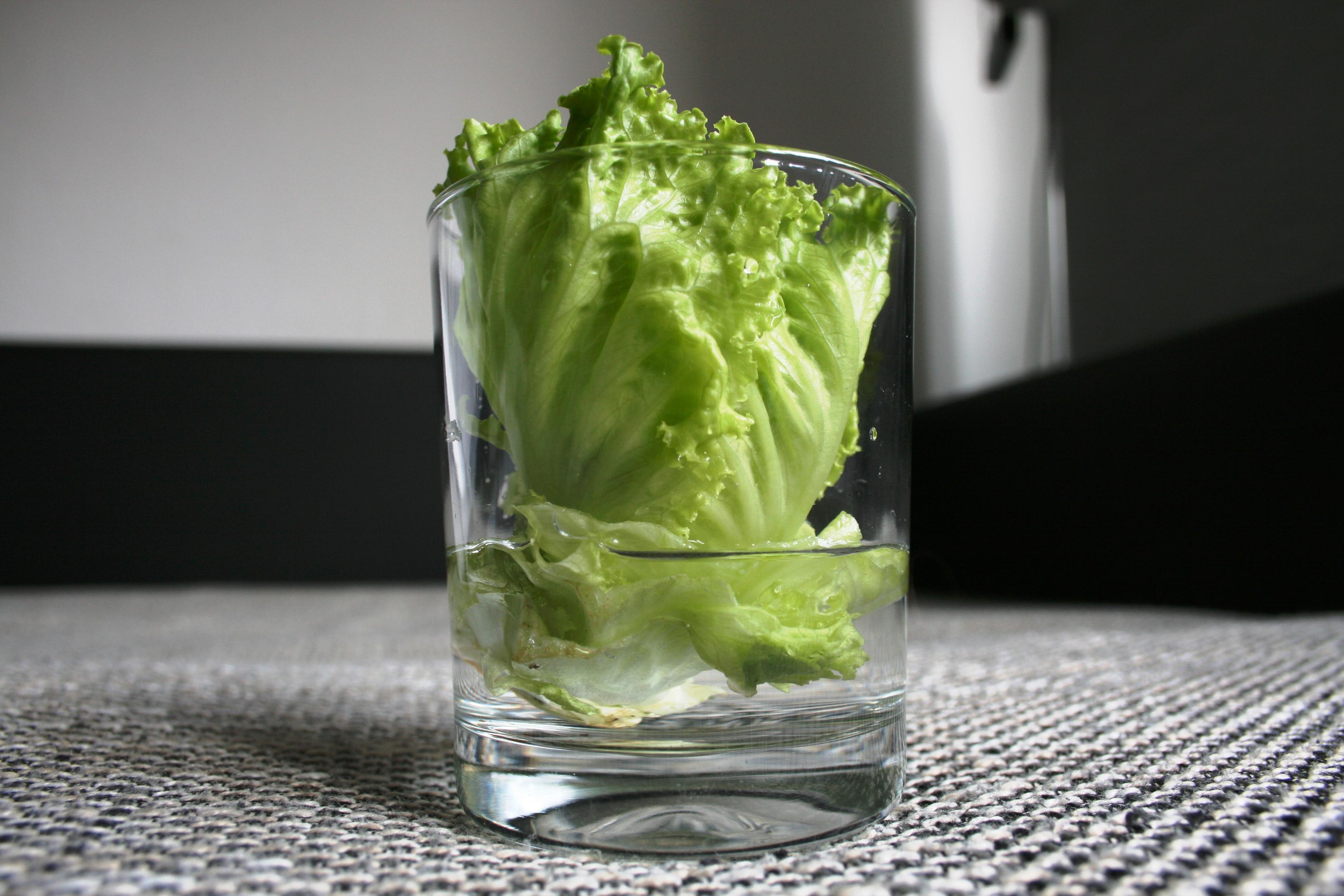 Salat_züchten