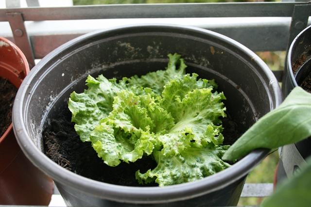 Salat_auf_Balkon