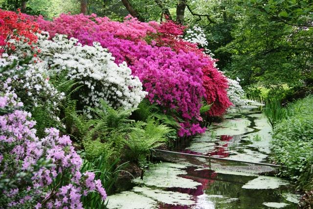 Bach_Rhododendron_Blüten