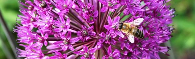 Biene_Rhododendronpark_Bremen_2016