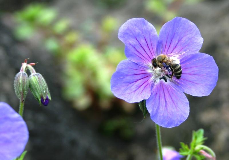 Biene in Blüte Fotografie